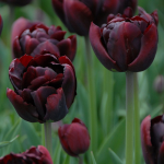 New Tulip Varieties