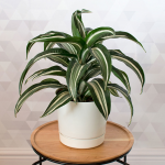 Dracaena 'Jade Jewel' in white cachepot