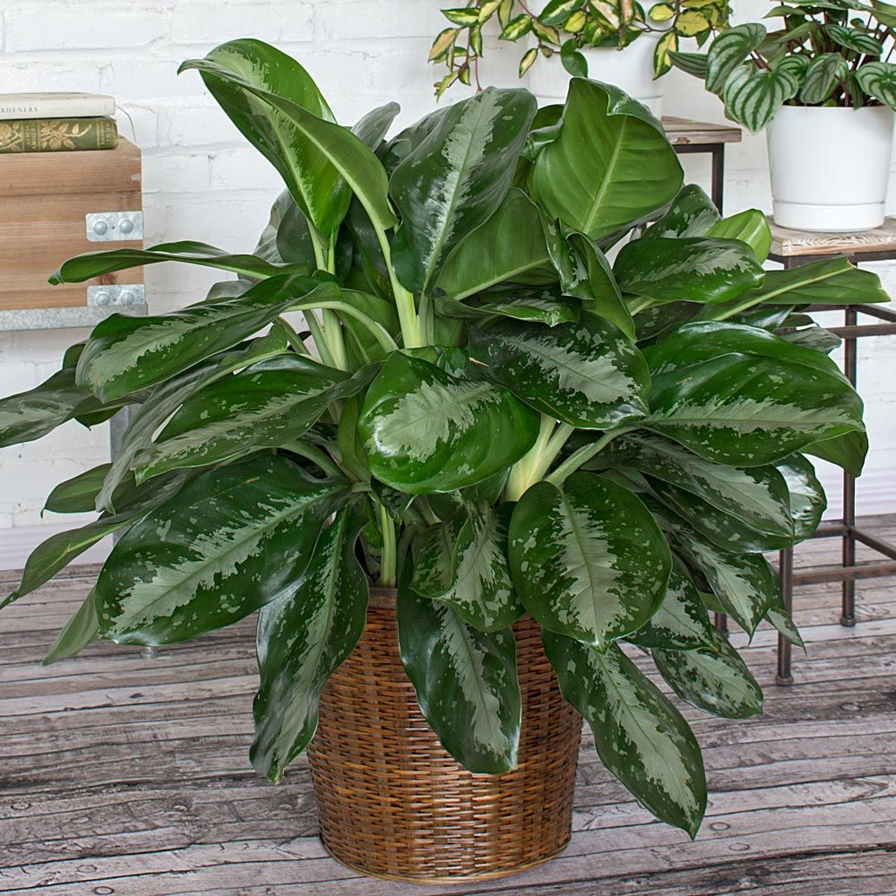 Photo and video tips for the care of tropical Aglaonema