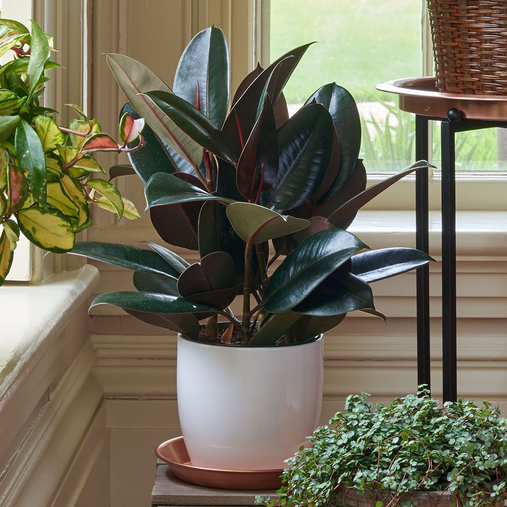 Burgundy Rubber Plant in ceramic cachepot