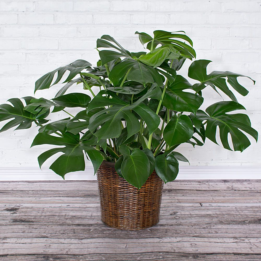 Split-Leaf Philodendron in woven basket