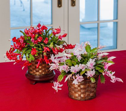 Holiday Cactus Duo in woven baskets