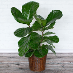 Fiddle-Leaf Fig in woven basket