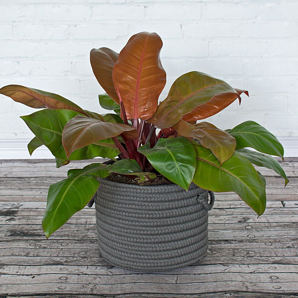 Philodendron Prince of Orange | White Flower Farm