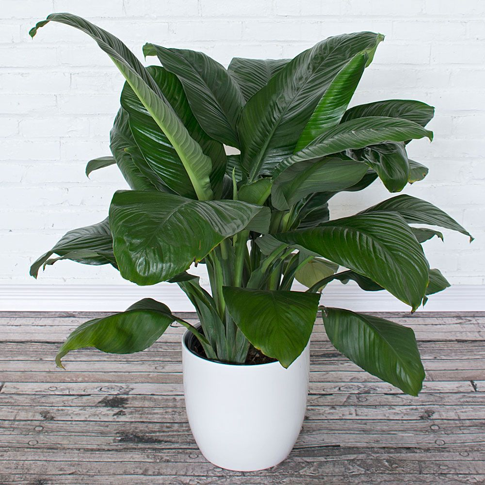 Pictures Of A Peace Lily Sevenstonesinc