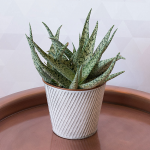 Aloe 'White Beauty' in metal cachepot