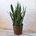 'Black Coral' Snake Plant in woven basket