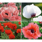 Rainbow Sampler of Oriental Poppies 2