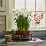 Paperwhite 'Ziva' Kit with Red Tole