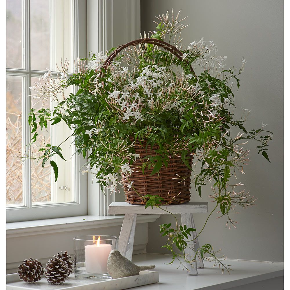 Jasmine Plant In Grapevine Basket Jasmine Flower White Flower Farm