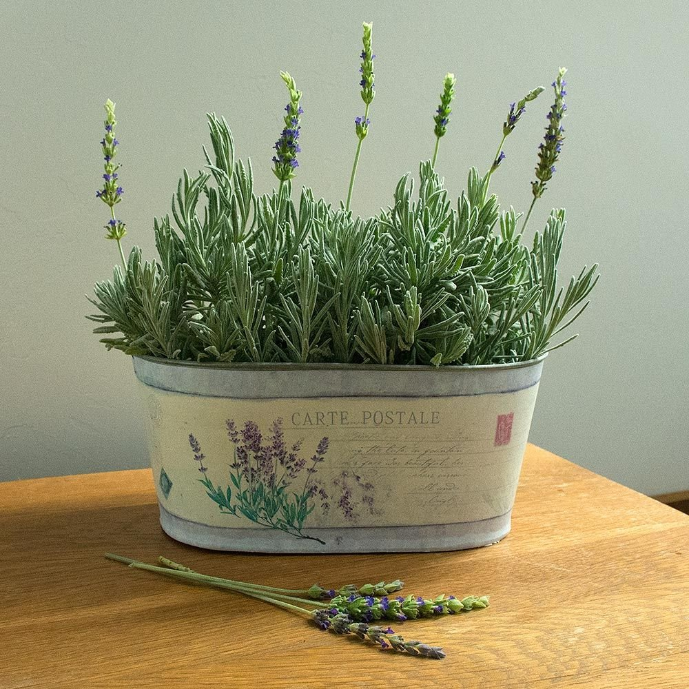 Lavender 'Goodwin Creek Grey' in decorative metal cachepot