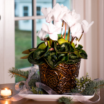 Cyclamen Halios White in embossed metal cachepot