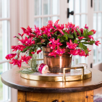 Red Holiday Cactus in metal cachepot