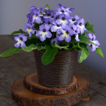 Cape Primrose 'Blue with White Center' in basket