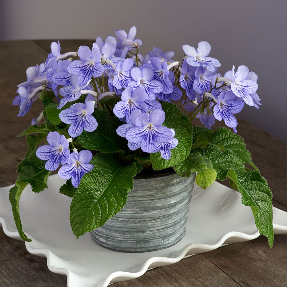 Cape Primrose 'Blue Ice' in metal cachepot
