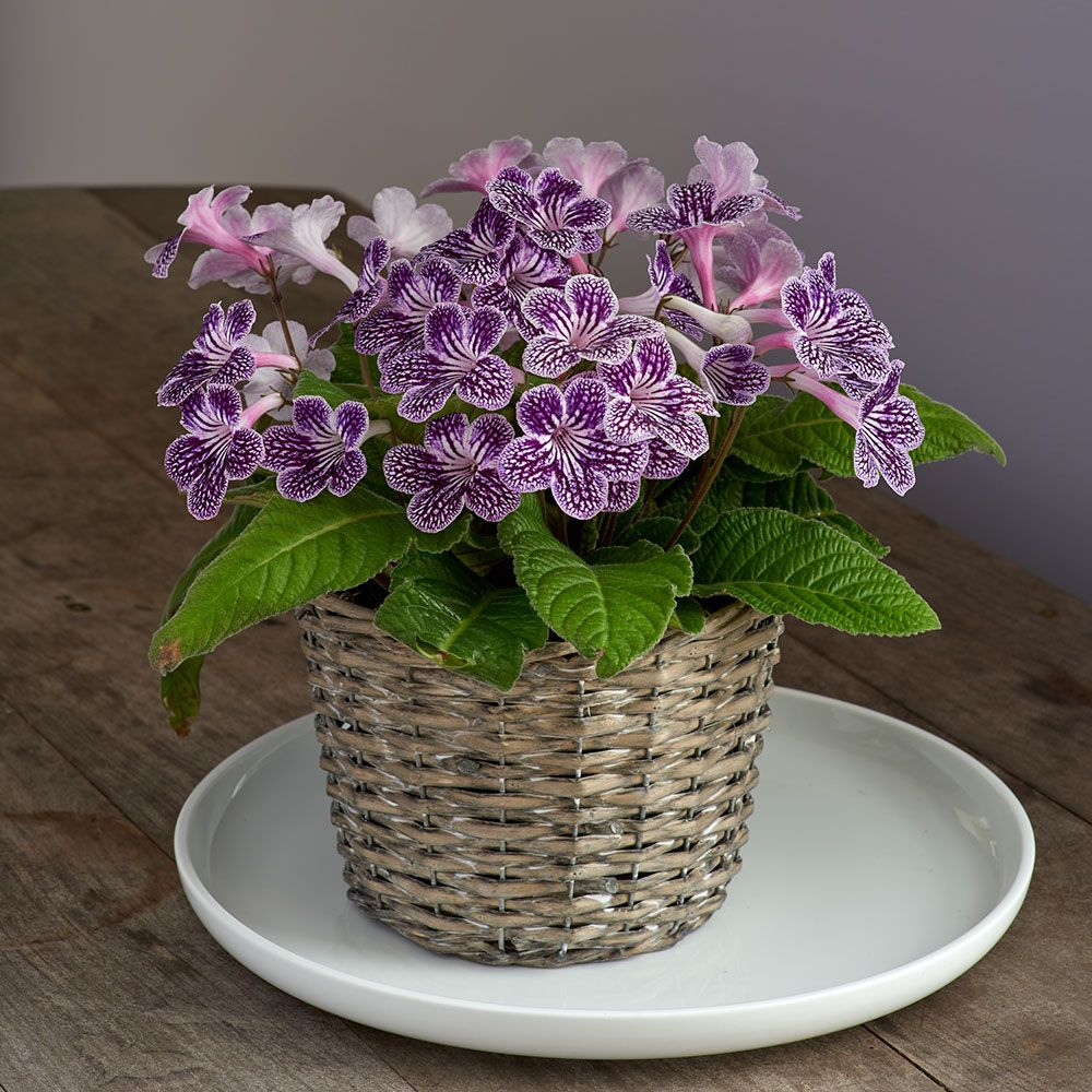 Cape Primrose 'Grape Ice' in basket