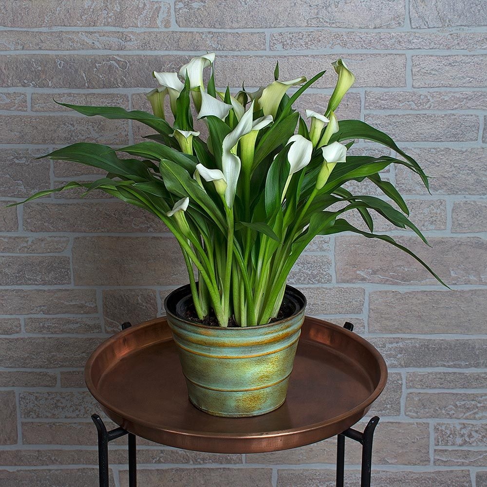 Calla Lily In 7 Metal Cachepot White Flower Farm