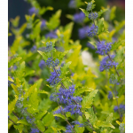 Caryopteris x clandonensis Lil' Miss Sunshine®