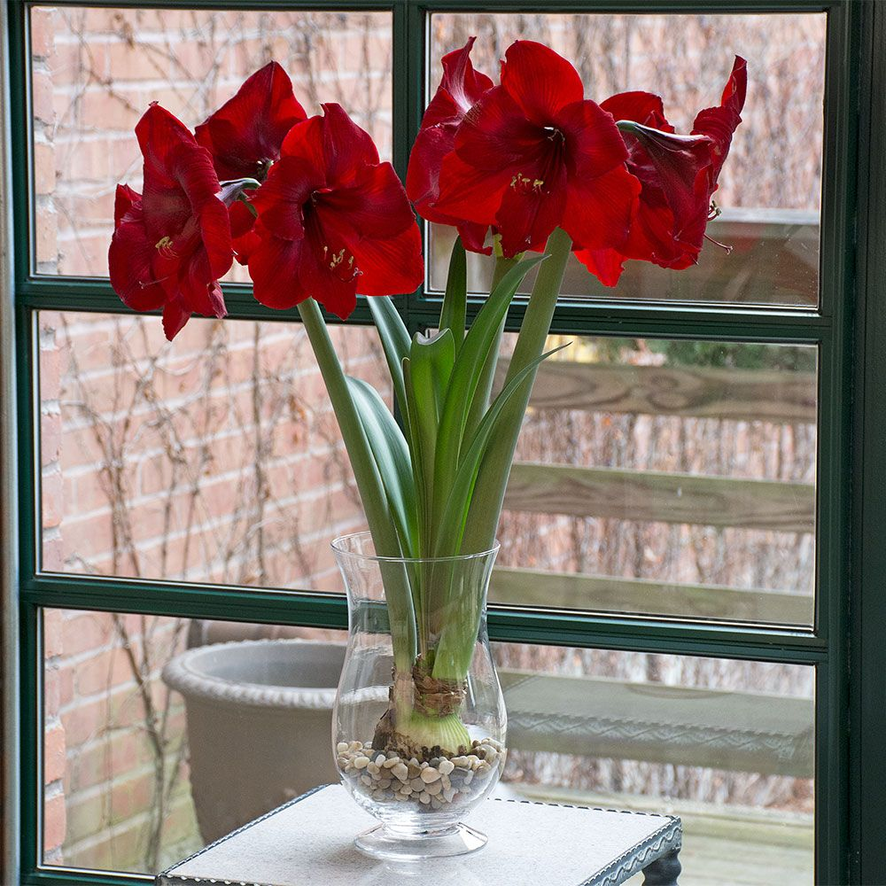 Amaryllis 'Red Reality'