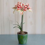 Amaryllis 'Bright Nymph,' one bulb in cachepot