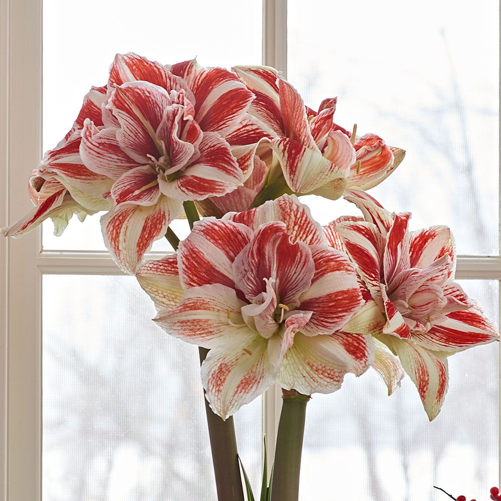 Amaryllis Bright Nymph | White Flower Farm