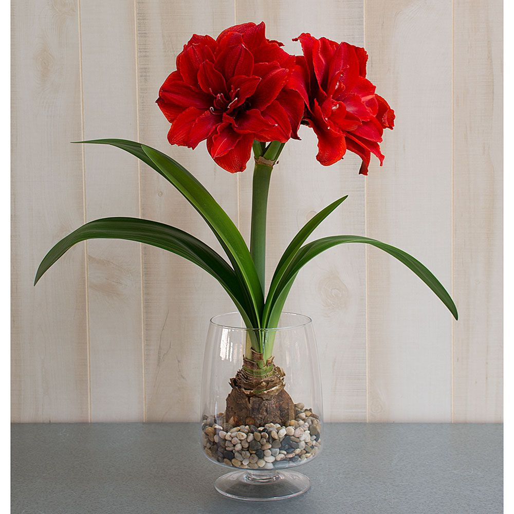 Amaryllis cherry nymph one bulb in footed glass vase for Vase amaryllis