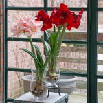Wintertime Flower Show, two bulbs in glass vases
