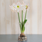 Amaryllis 'Picotee,' one bulb, glass vase, and river pebbles