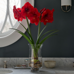 Amaryllis 'Red Label,' one bulb, glass vase, and river pebbles