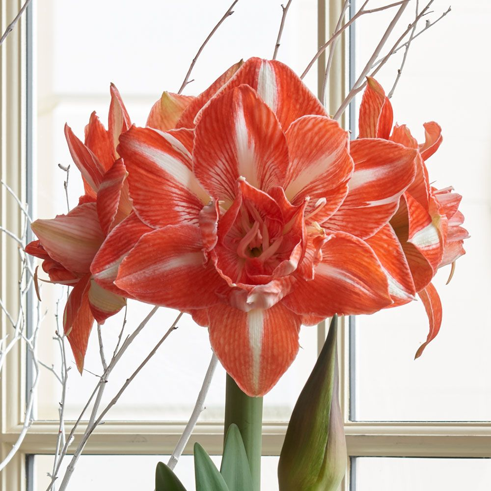 White flower farm reviews image collections flower decoration ideas pretty white flower farm amaryllis photos wedding and flowers awesome white flower farm reviews ideas wedding mightylinksfo Images