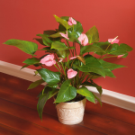 Pink Anthurium in embossed metal cachepot