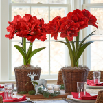 Red Double Amaryllis in Woven Basket