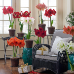 Amaryllis Connoisseurs Collection