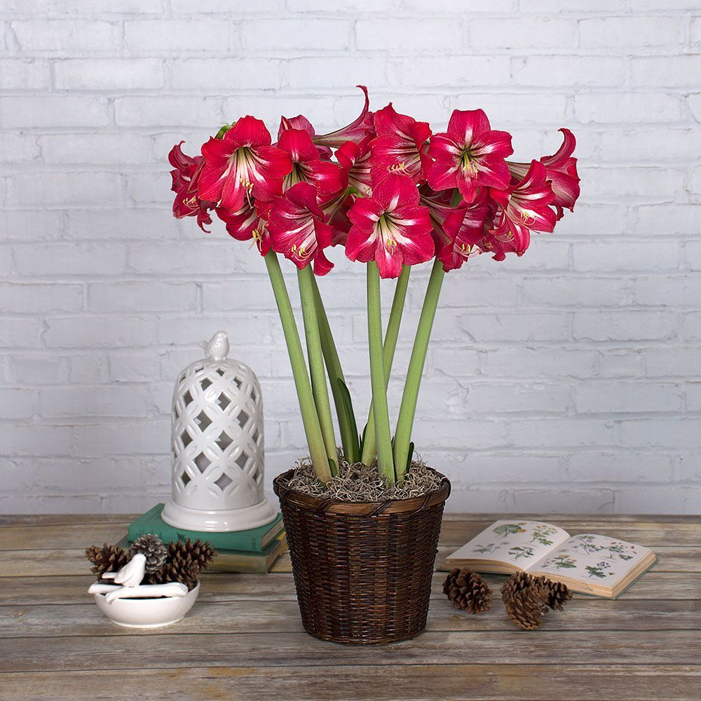 Early blooming south african amaryllis white flower farm for Rempotage bulbe amaryllis