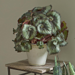 Begonia 'Escargot' in Farnham pot