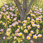 Ground Covers with Bulbs