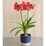 Single-Flowered Amaryllis