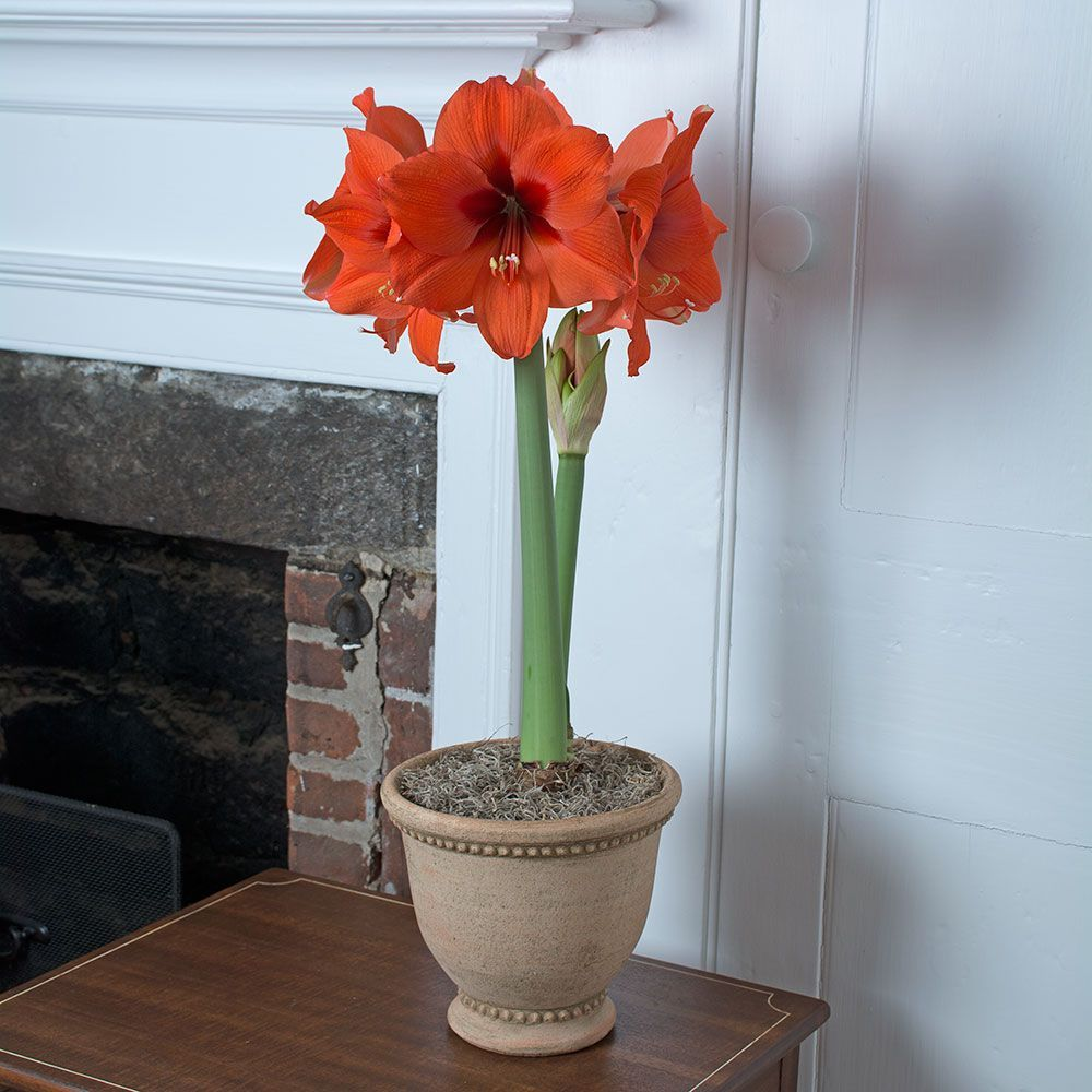 Amaryllis plant care instructions - All Amaryllis By Variety