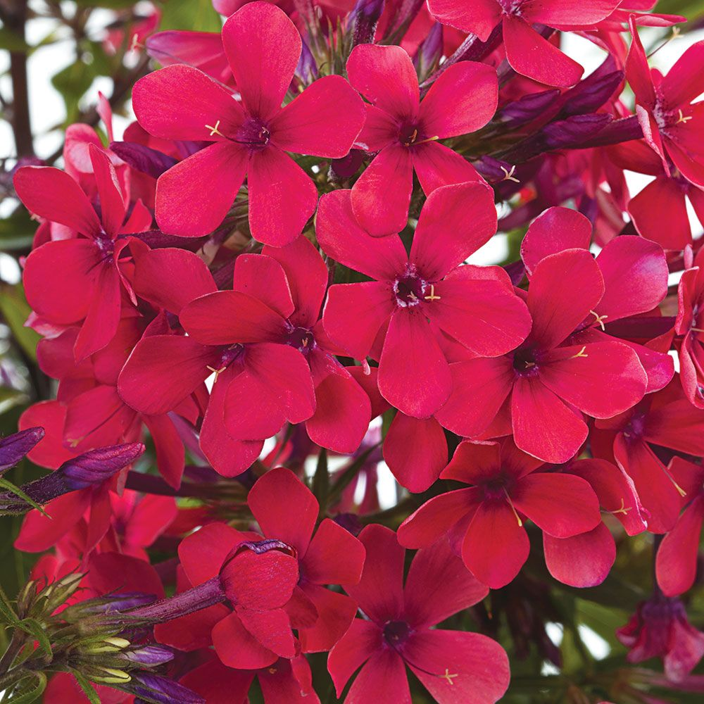 Phlox Early Red®