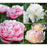 Fragrant Peony Collection