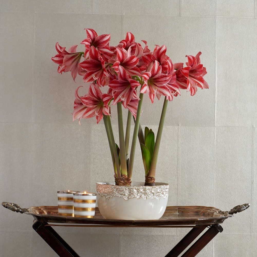 shop amaryllis houseplants