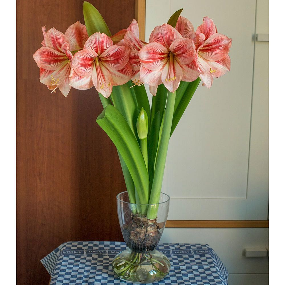 Amaryllis 'Provence,' one bulb, glass vase, and river pebbles