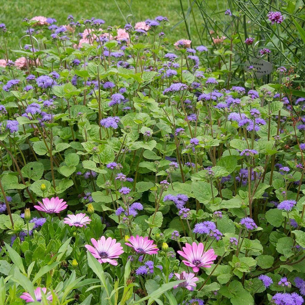 Ageratum 'Blue Planet'
