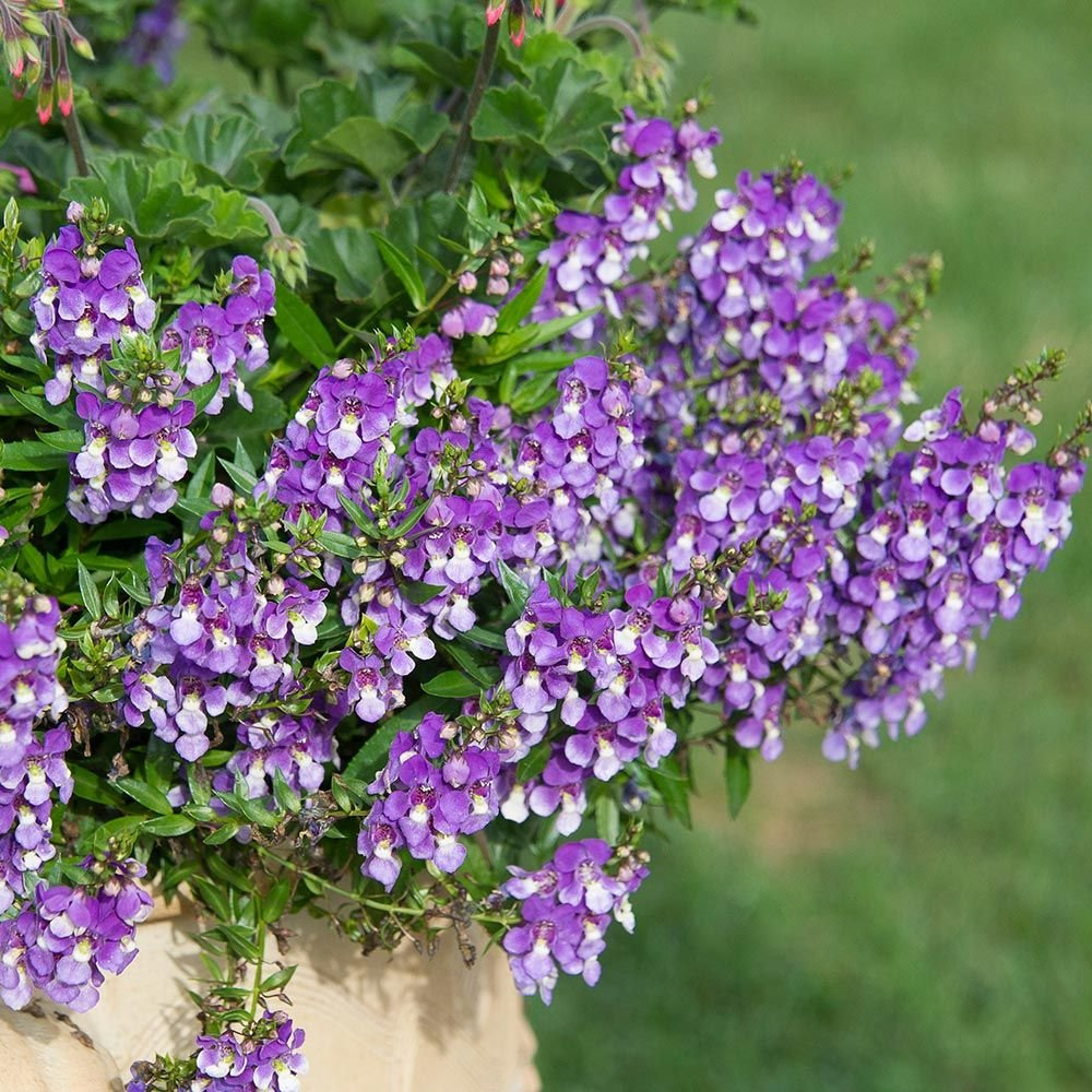 Angelonia angustifolia AngelMist® Spreading Bluebird