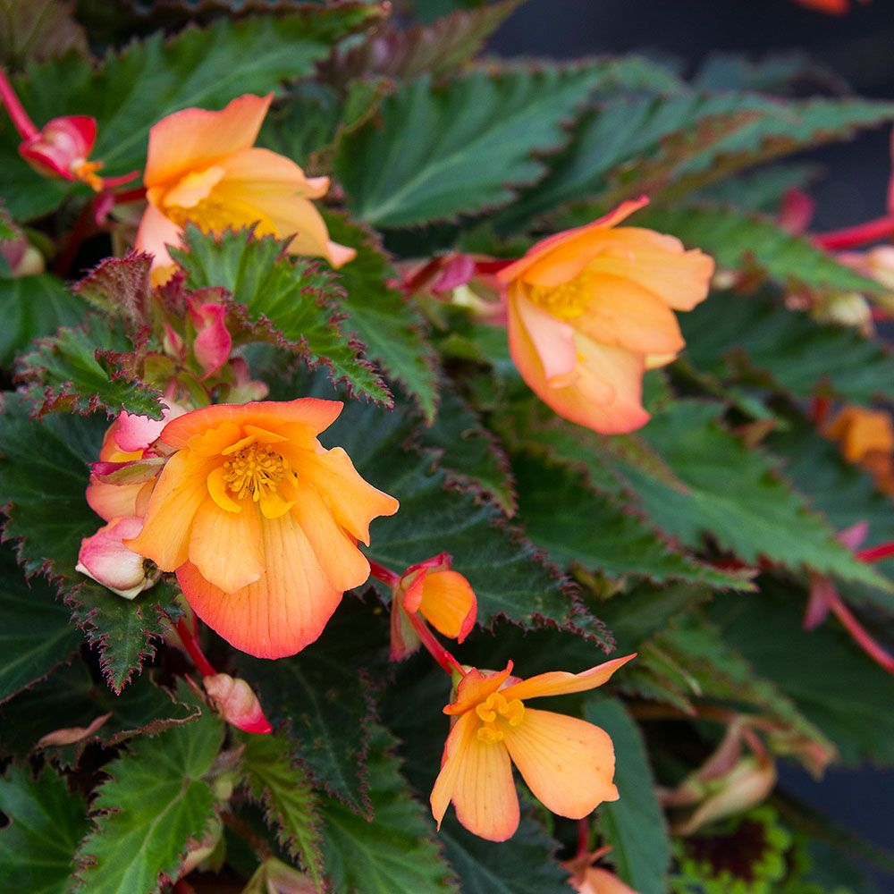 Begonia Unbelievable Lucky Strike
