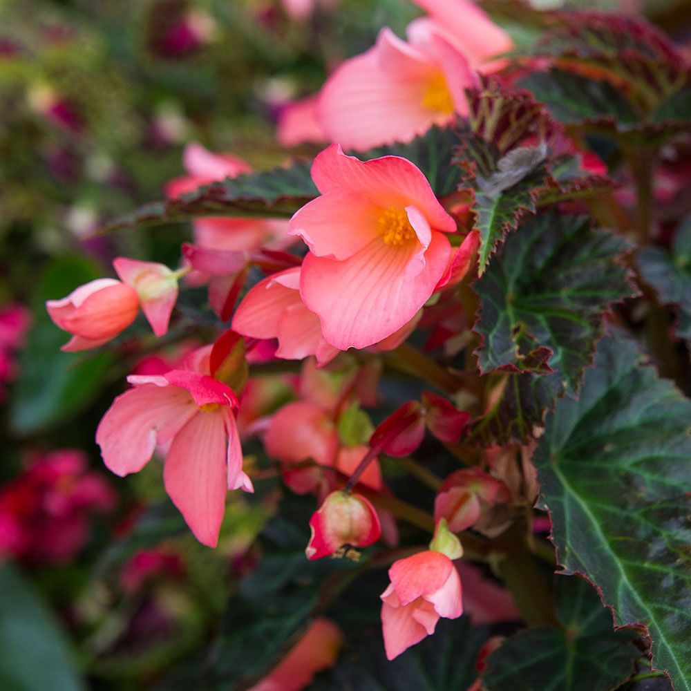 Begonia 'Unstoppable Upright Salmon'