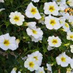 Calibrachoa Superbells® Over Easy™