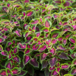 Coleus PartyTime™ Pink Berry