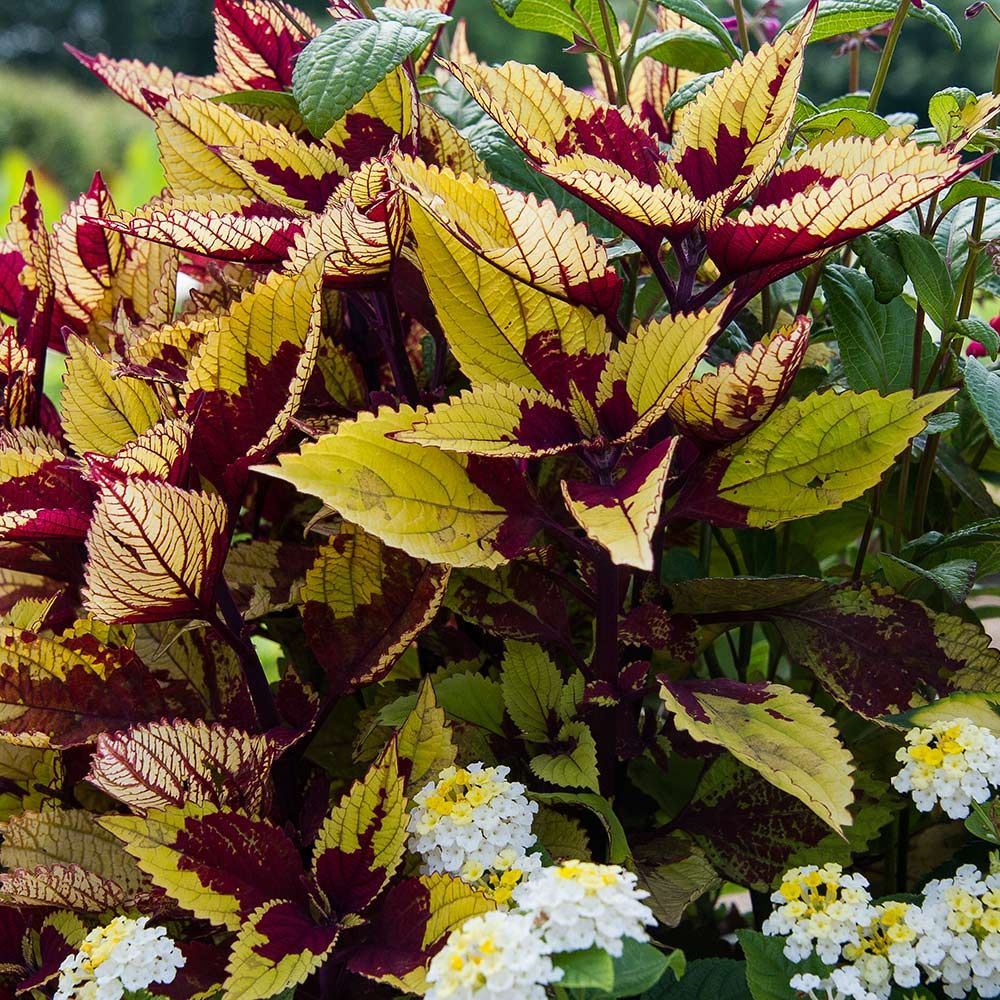 Coleus 'Pineapple Beauty'