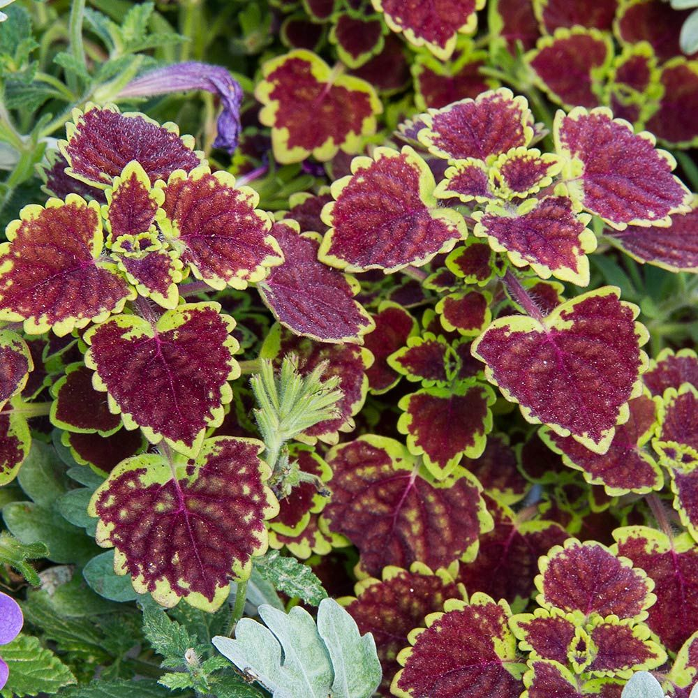 Coleus Burgundy Wedding Train
